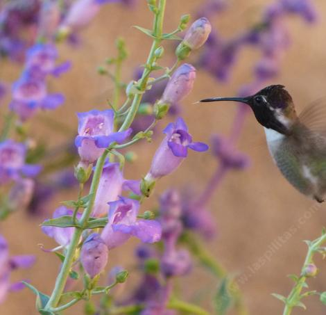 Costa's Hummingbird on Mojave beardtongue, Penstemon incertus. This native plant grows along the Southern Sierras.