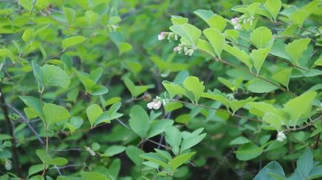 Symphoricarpos albus laevigatus, Common Snowberry. makes a green thicket. - grid24_12