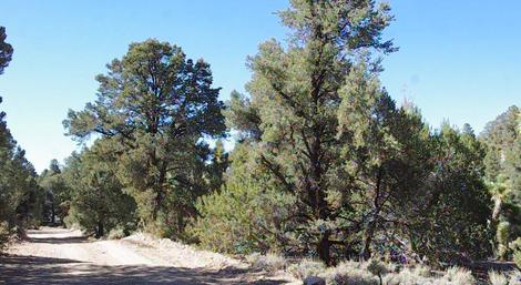 California Pinyon-Juniper Woodland with a Pinus monophylla - grid24_12
