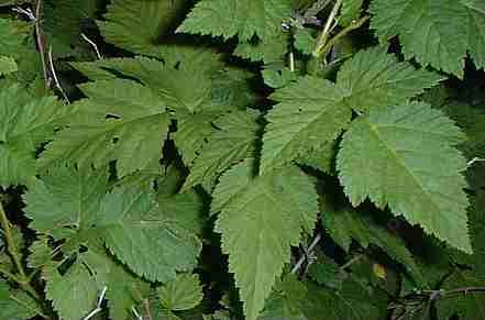 A closeup photo of Rubus spectabilis, Salmon Berry. the leaves of which can be used for tea.