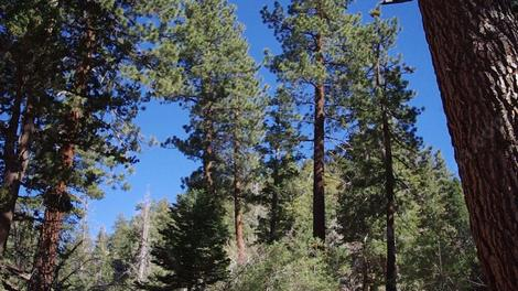 California Yellow Pine Forest - grid24_12