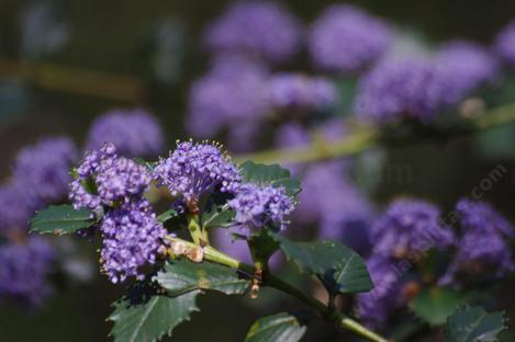 Ceanothus Mills Glory has beautiful purple flowers. - grid24_12