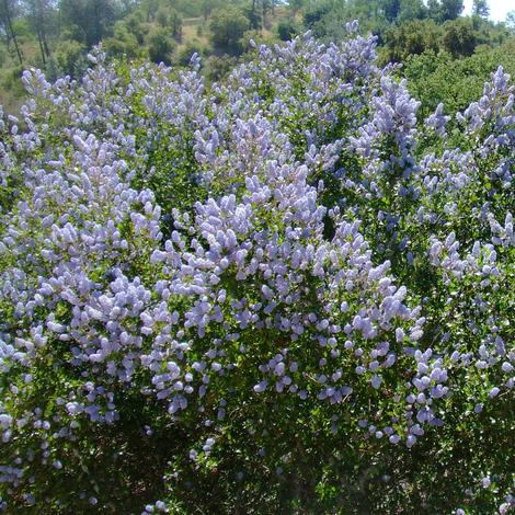 Ceanothus L.T. Blue, Mountain Lilac is a very drought tolerant Mountain Lilac. - grid24_12