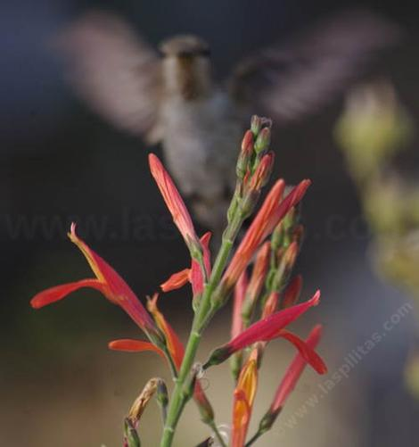 A young Anna Hummingbird on a Beloperone californica, Chuparosa.