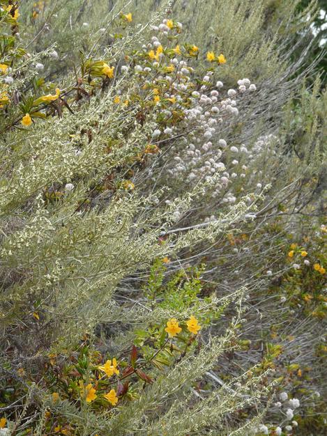 Artemisia californica on a coastal trail with Coyote Bush, Sticky Monkey Flower and Cliff Buckwheat. - grid24_12