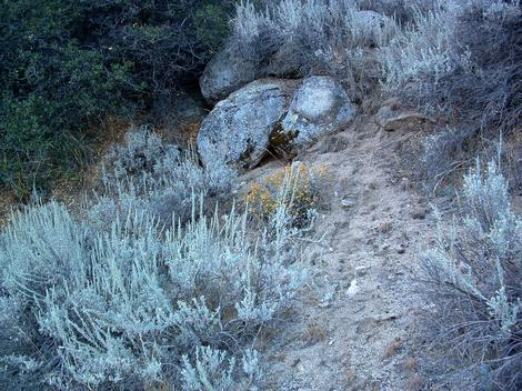 Artemisia tridentata, Great Basin Sagebrush,  up by Walker pass. - grid24_12