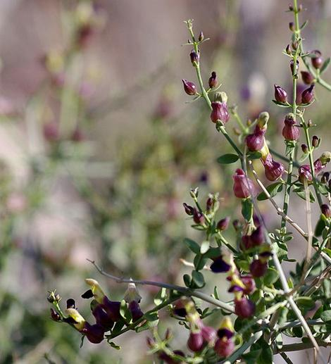 Salazaria mexicana, Bladder-Sage look like Figwort mixed with a Pea flower. - grid24_12