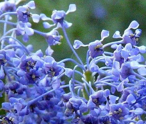 A close up of Ceanothus Sierra Blue flowers. - grid24_12
