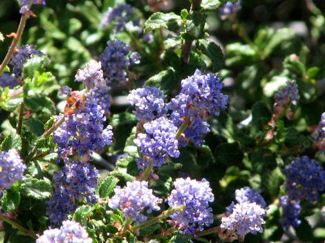 Ceanothus foliosus, Wavy Leaf Mountain lilac flowers. - grid24_12