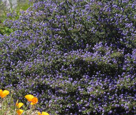 Ceanothus foliosus, Wavy Leaf Mountain lilac. - grid24_12
