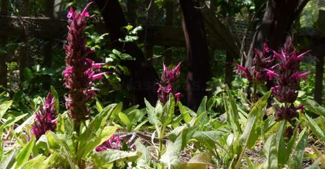 Salvia spathacea, Las Pilitas Hummingbird Sage as groundcover. - grid24_12