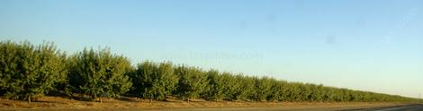 An orchard in the San Joaquin Valley. - grid24_12