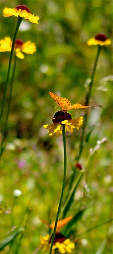 A Fritillary Butterfly on a Helenium bigelovii in a Sierra Meadow. - grid24_12