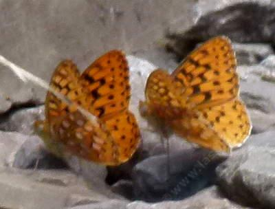 Mormon Fritillaries up in the Sierras - grid24_12