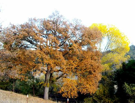 A Populus fremontii, Fremont Cottonwood behind a Valley Oak, Quercus lobata in fall color. - grid24_12