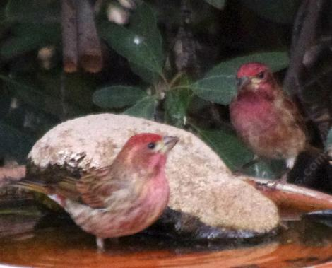 Purple Finches at bird bath. - grid24_12