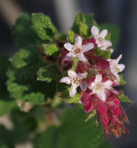 Ribes malvaceum  can be in flower anytime from November to April. - grid24_12