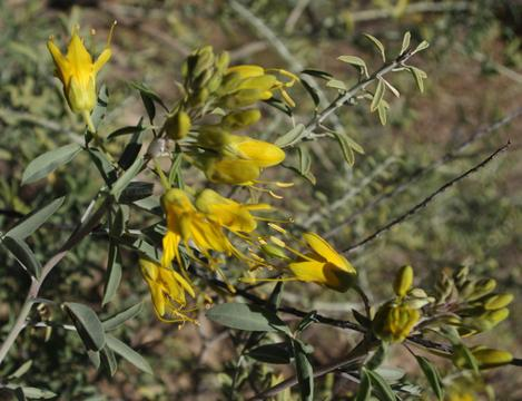 Bladderpod can flower all year. Here it is in December. - grid24_12