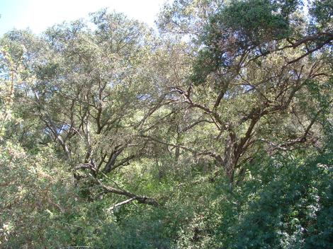 Here is classic Southern California, Coast Live Oaks with Poison Oak, Snowberry, Clematis and Lonicera. - grid24_12