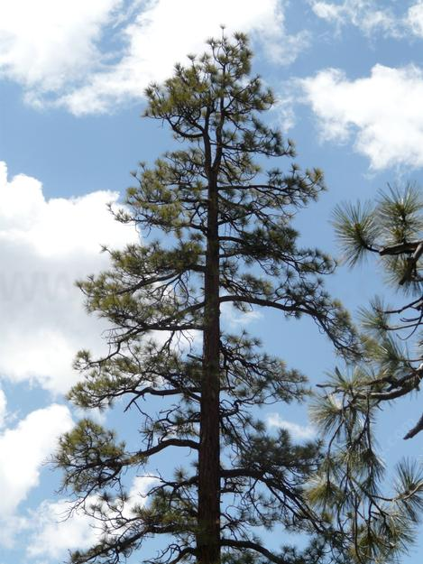 A Jeffrey pine up by Big Bear fits the definition of stress tolerant. - grid24_12