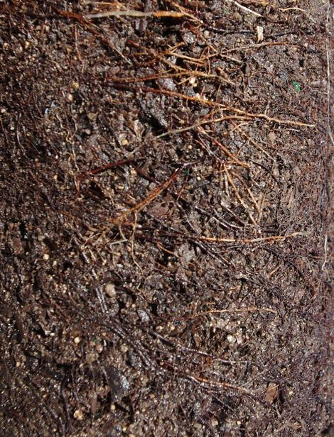 The mycorrhizal roots of a manzanita plant start out clear and change to brown and black as they develop and their tips are blunt. - grid24_12