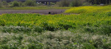 Black Mustard in a seasonally wet area around San Luis Obispo. - grid24_12