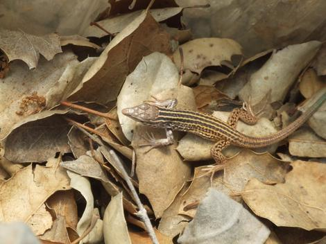 Western Whiptail, Cnemidophorus tigris in leaf litter. - grid24_12