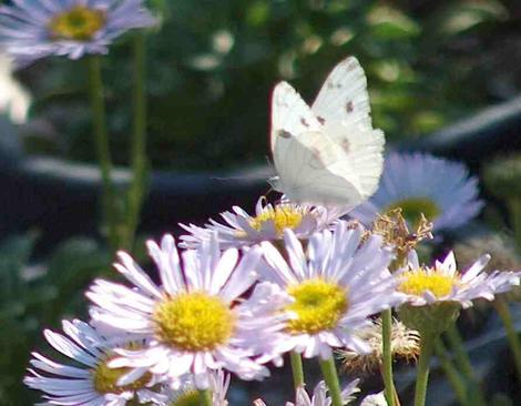 White butterfly on Seaside Daisy - grid24_12