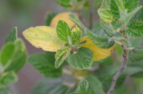 Many of the Ceanothus have yellow leaves before they push new growth. - grid24_12