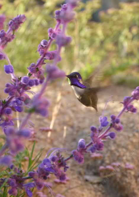 Costa Hummingbird on Trichostema lanatum - grid24_12