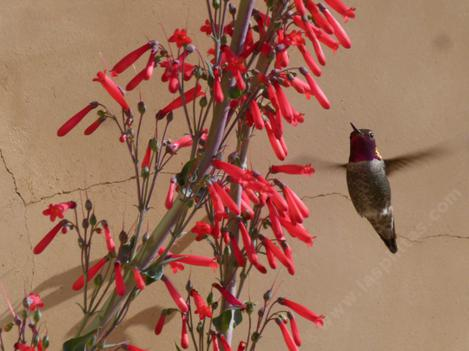 Penstemon centranthifolius is loved by hummingbirds