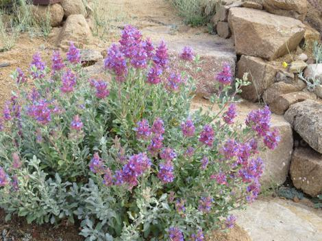 Salvia pachyphylla works great in a desert garden.