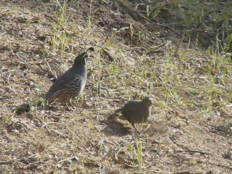 Two California Quail foraging. - grid24_12