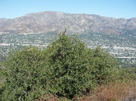 Quercus wislizenii frutescens, Dwarf scrub up about Los Angeles, courtesy of Roger and L.