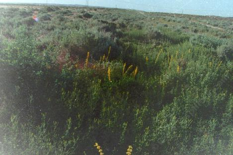 This is a section of Shadscale scrub back in about 1980. The yellow flowers are a Lupine. - grid24_12