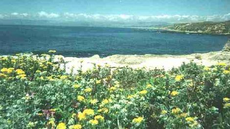 Coastal Bluff with Eriophyllum staechadifolium artemisiaefolium,  Yellow Yarrow - grid24_12