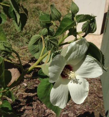 Hibiscus californica, Rose-Mallow flower, courtesy of Tara F.