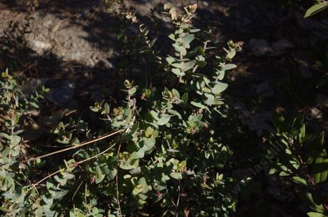 Arctostaphylos Brother James had a little tip burn. - grid24_12