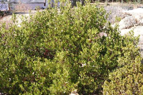 Arctostaphylos Harmony has shown drought stress but no cold damage. Nice looking plant in spite of the drought and cold. - grid24_12