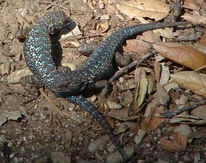 Two Western Fence Lizards - grid24_12