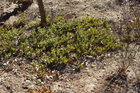 I have no idea how this Arctostaphylos uvas-ursi San Bruno has survived the drought(it is in a dry drainage ditch) and the cold. - grid24_12