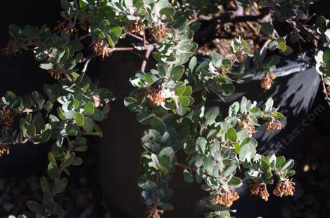 The flowers got frozen off of Arctostaphylos John Dourley. - grid24_12
