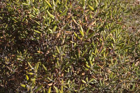 Considering  Xylococcus bicolor, Mission Manzanita grows down in San Diego it handled the frost better well. - grid24_12