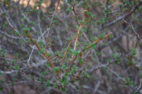 Ribes speciosum is amazing, coming back from summer dormancy like nothing is happening. - grid24_12