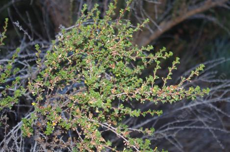 Purshia glandulosa has done well in the drought and frost. - grid24_12
