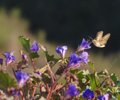 A white-lines sphinx moth visits a  Phacelia campanularia,