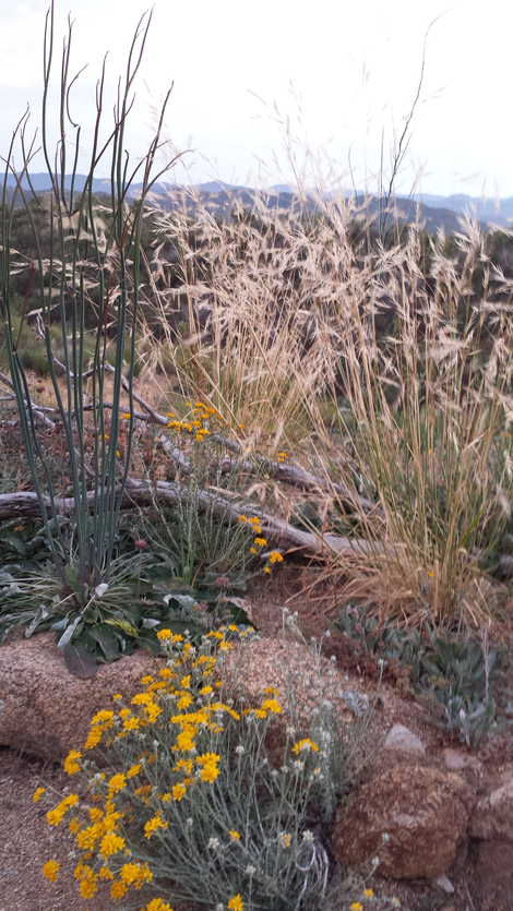 Stipa pulchra with Eriophyllum confertiflorum and Eriogonum sp.