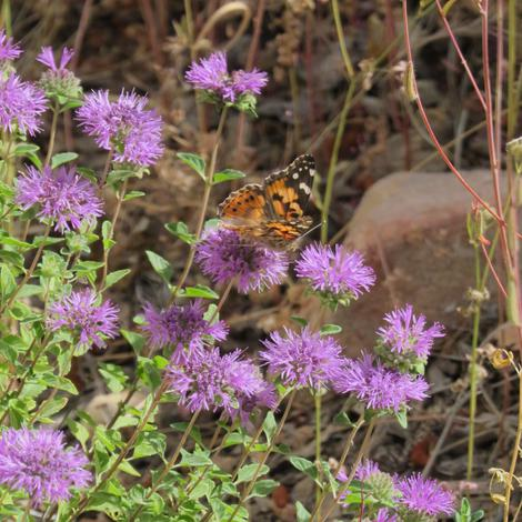 Monardella subglabra, Butterfly Mint Bush, with a painted lady butterfly.