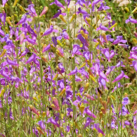 Penstemon heterophyllus, Foothill Penstemon