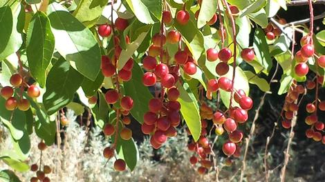 A close up of the berries of Prunus virginiana demissa at the nursery. - grid24_12